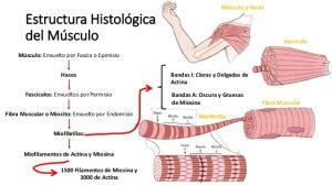 fisiologa-contraccin-muscular-sarcomero-actina-miosina-troponina-4-638