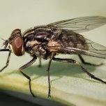 Cuanto-vive-una-mosca