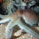 jcs-octopus-vulgaris-35050